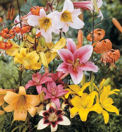 all-summer-lily-mixed