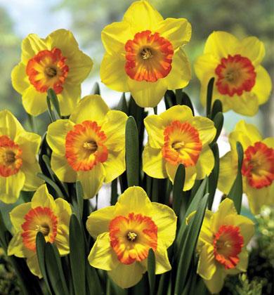 daffodil-multnomah