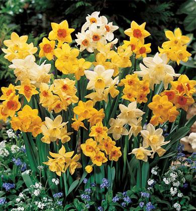fragrant-jonquil-daffodil-mix