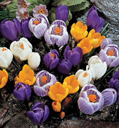giant-crocus-mix