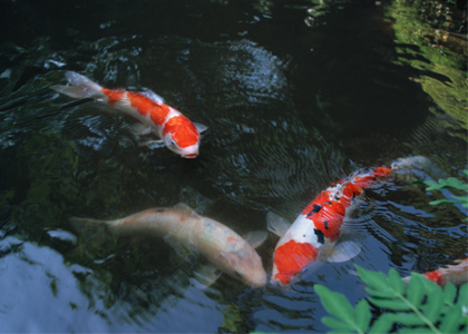 freshhome-fish-02
