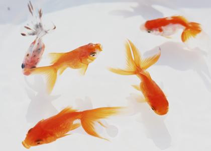 freshhome-fish-06